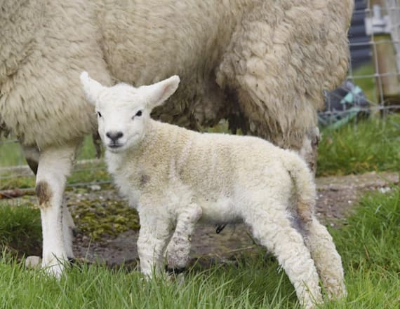 Lamb is born with 5 legs, saved from meat market
