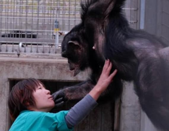 Rare case of Down Syndrome documented in chimpanzee