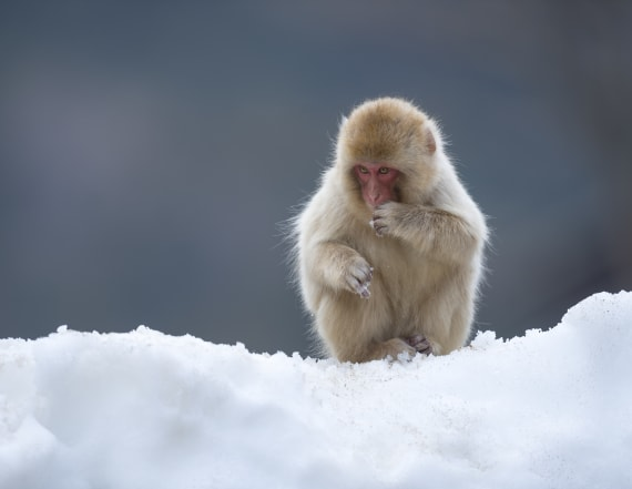 Japan zoo kills 57 monkeys for 'alien' genes