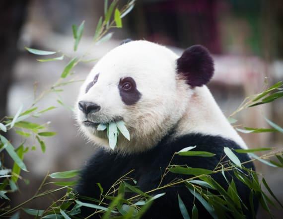 National Zoo waves goodbye to giant panda 'Bao Bao'