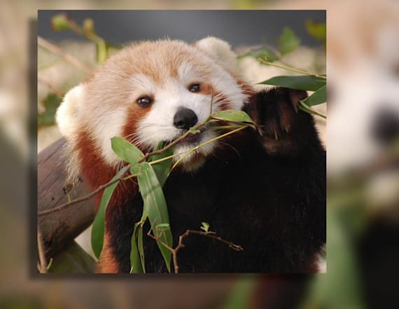 Red panda escapes enclosure at Virginia Zoo