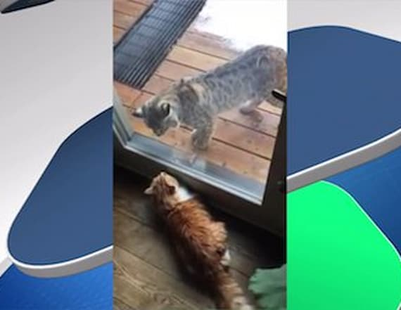 House cat valiantly defends his home from a bobcat