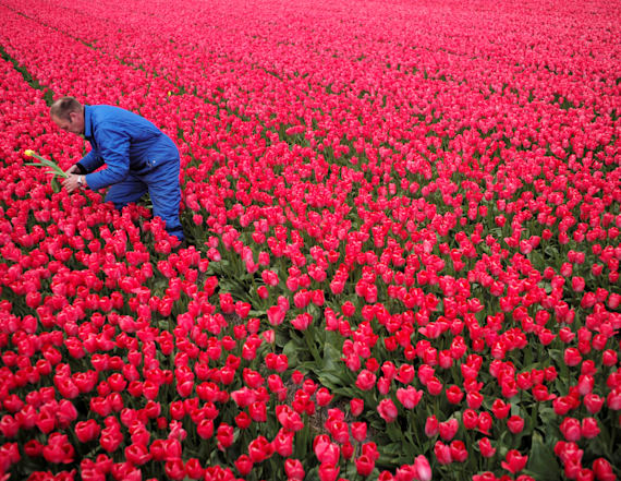 Tulip farmers set to cut off colorful flower heads