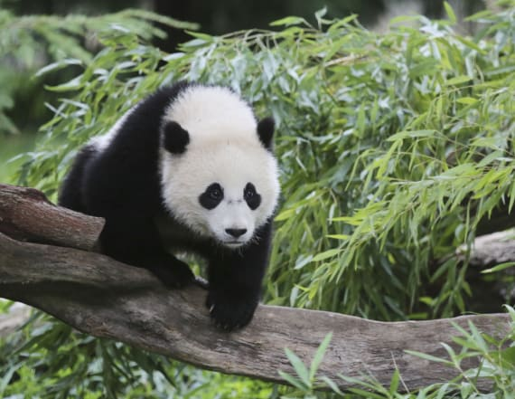 Where to go in the US to see a giant pandas