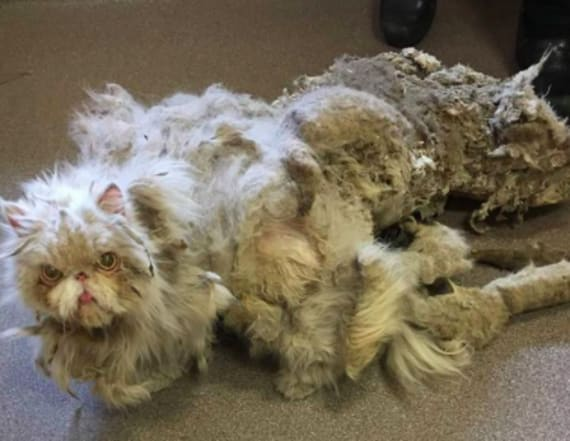 Transformation of cat with 5 pounds of matted fur