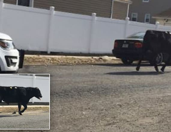 Cow flees slaughterhouse, leads police on chase