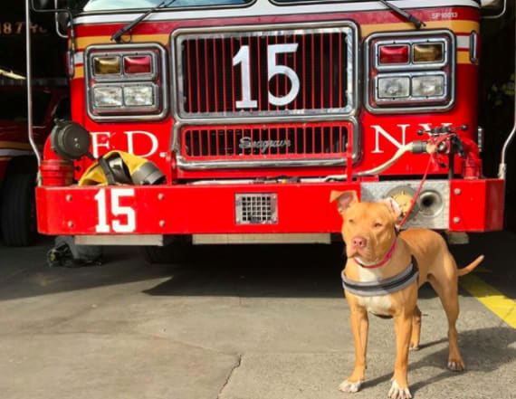Pit bull rescued from crack house now firehouse dog
