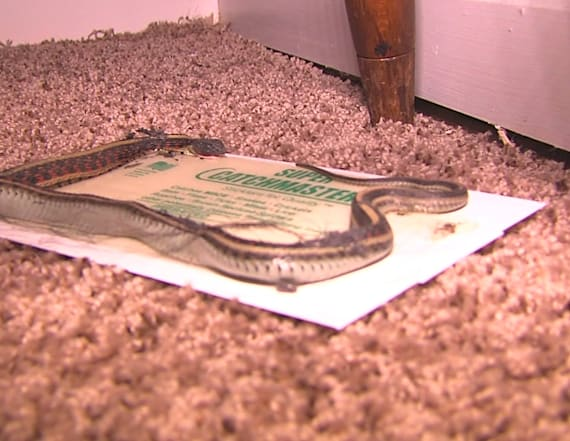 Missouri family says home is overrun with snakes