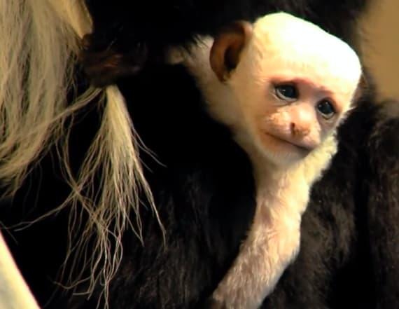 Cincinnati Zoo welcomes adorable baby monkey