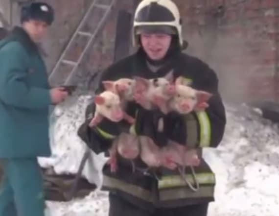 Firefighters save pigs from fire