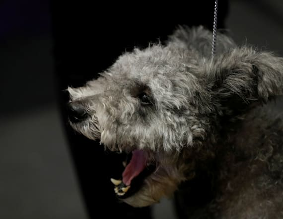 Westminster dog show event to feature new animal