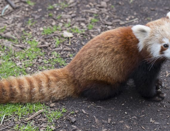 Adorable red panda cub recovers after neck injury