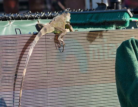 Iguana wreaks havoc at tennis match, goes viral