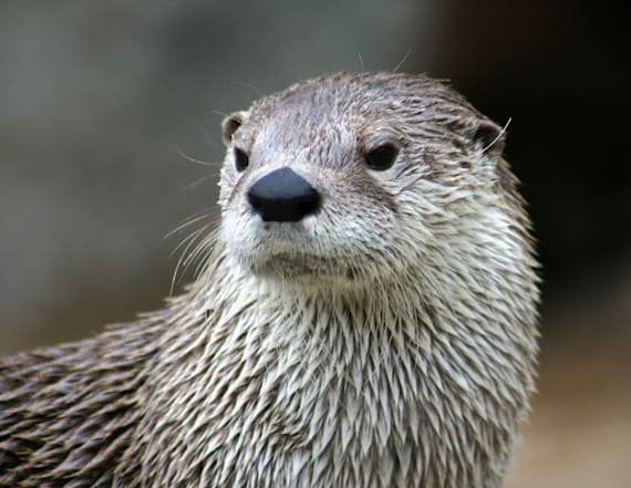 Researchers discover species of wolf-sized otter