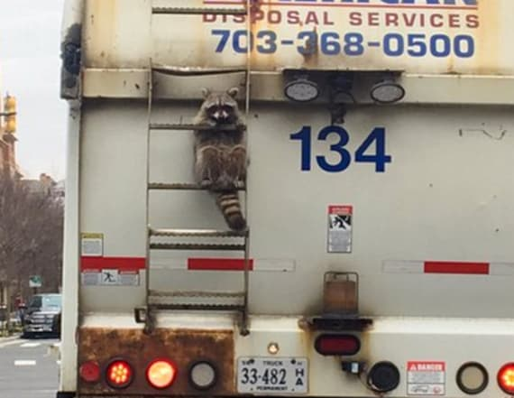 Carefree raccoon hitches a ride on a garbage truck
