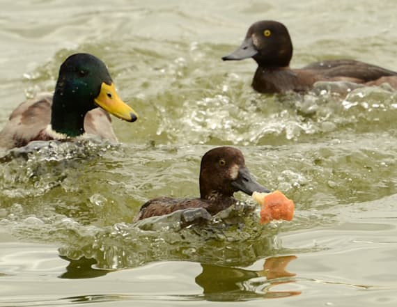 Why you should never ever feed bread to a duck