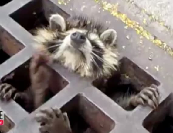 Adorable raccoon rescued from perilous location