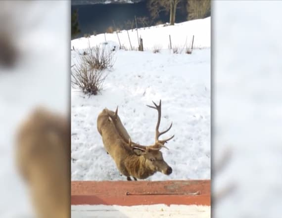 Wild stag visits elderly woman twice a day
