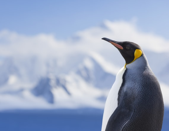 Ancient penguins were giant for 30 million of years