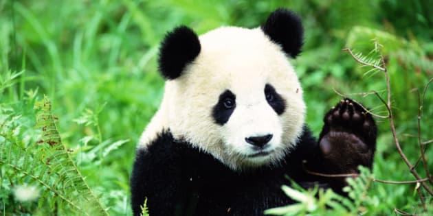 deux pandas g ants s ment le trouble en belgique. Black Bedroom Furniture Sets. Home Design Ideas
