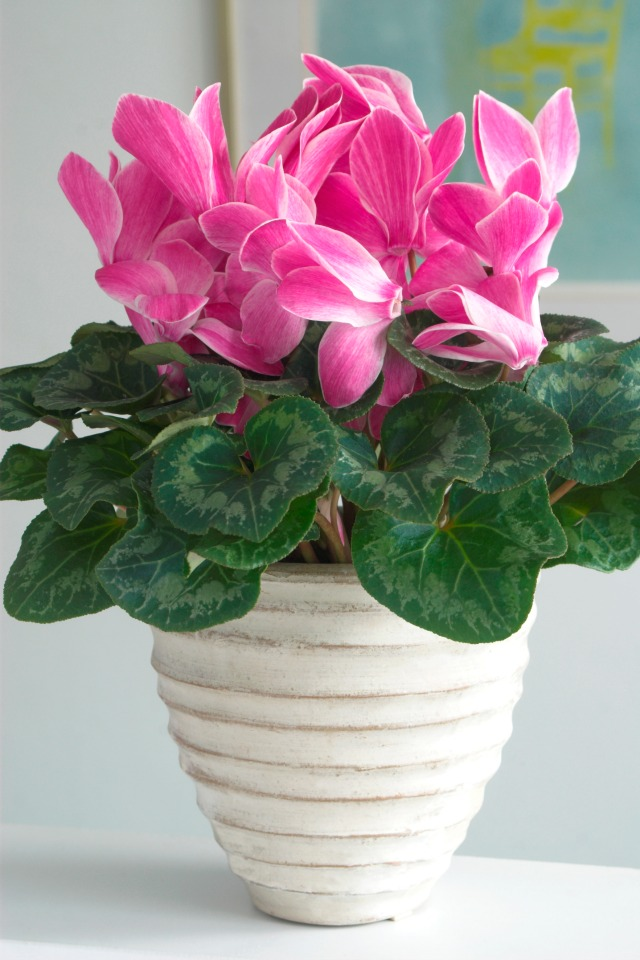 Cyclamen Plant Care Growing Tips Cutting Planting: 4 Super Easy To Care For Houseplants (They Won't Die On