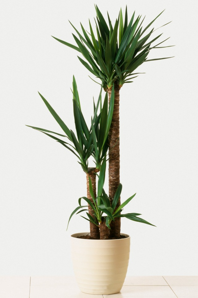 Yucca Plant Care Tips Growing Advice: 4 Super Easy To Care For Houseplants (They Won't Die On