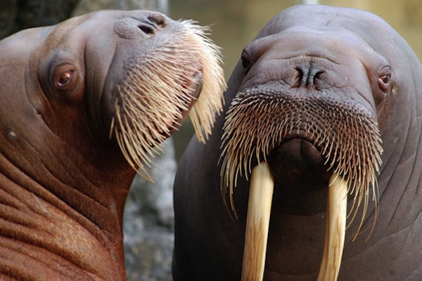Size Of A Walrus Penis 22