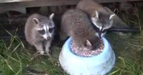 小浣熊的humpa不喝牛奶太可爱了,不能说话[视频]