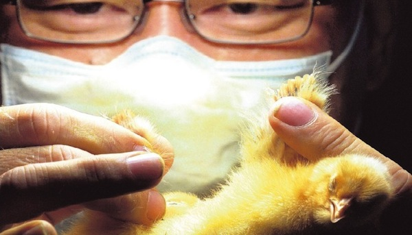 japanese odd jobs, strange japanese professions, chicken sexer
