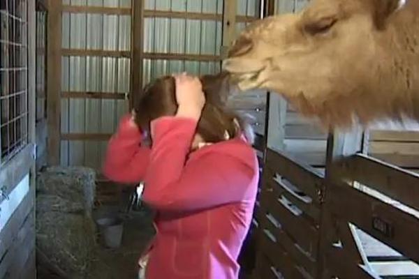 animals attacking reporters on TV, camel