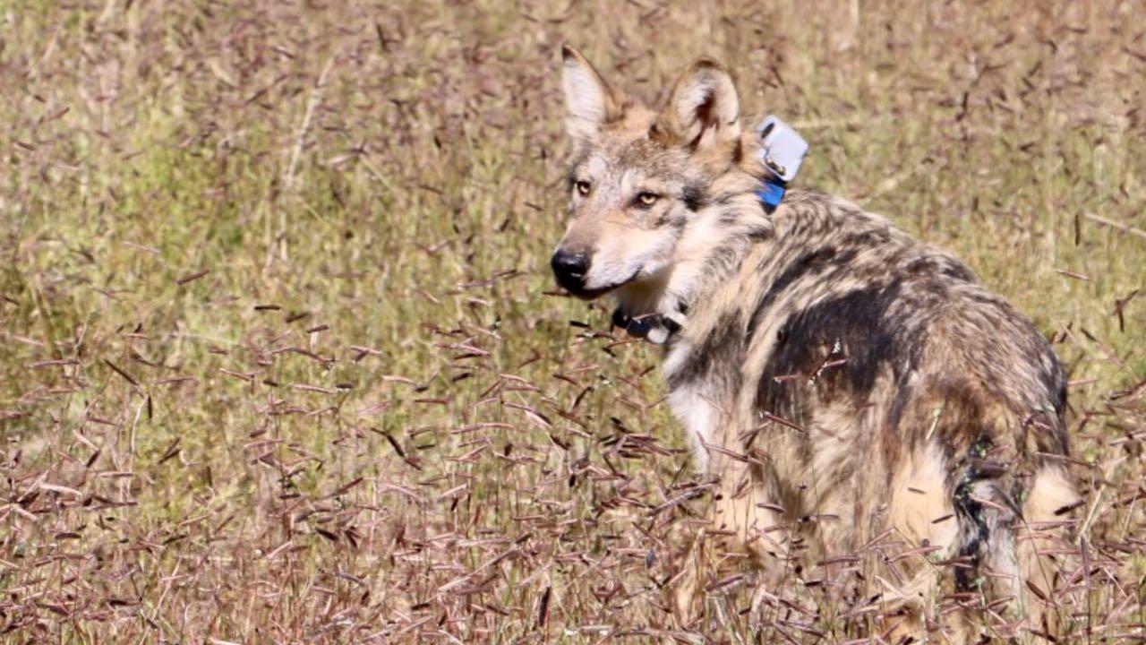 Rehabilitación Del Lobo Gris En Proceso: Lobo Mexicano Regresa A La Vida Silvestre