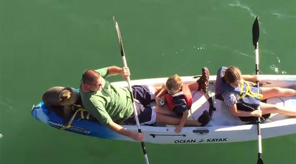 当我乘坐皮划艇时,海狮进来了!太自然太搞笑了[视频]