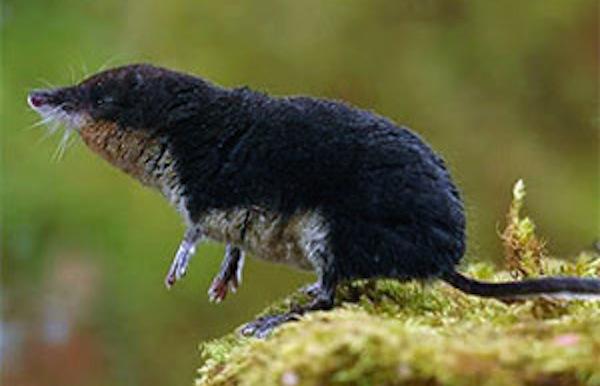 animal penis sizes, largest and smallest animal penises, shrew 0.2 inch penis