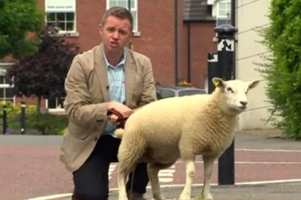 animals attacking reporters on TV, sheep