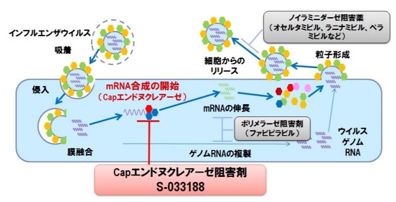 新薬ゾフルーザ(赤色枠)の作用は、細胞に入ったウイルスが中で増えるプロセスを抑える。タミフルやイナビルなどの従来薬(外側の灰色枠)は外に出て行ったウイルスの広ガルを抑える