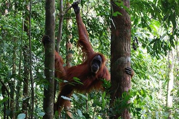 animal penis sizes, largest and smallest animal penises, orangutan 2 inch penis