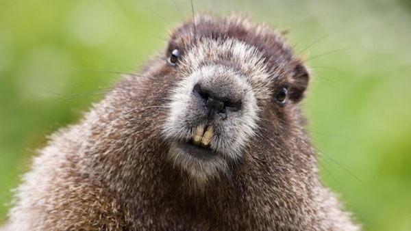 beaver holds Latvian man hostage
