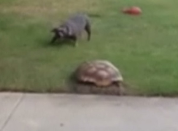 或者伦巴!看着乌龟以极快的速度追逐狗很有趣[视频]
