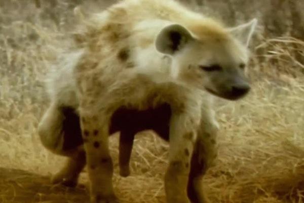 animal penis sizes, largest and smallest animal penises, hyena 7 inch penis