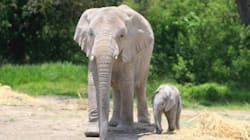 Presentan bebé elefante africano y lo vas a