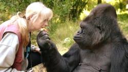 Koko, la célèbre gorille qui parlait la langue des signes, est
