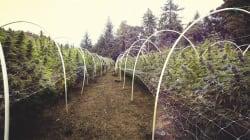 El viaje del cannabis: de la tierra al