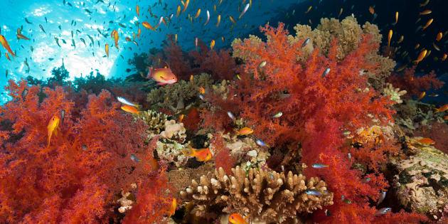Corales marinos en Shaab Maksur, Mar Rojo, Egipto.