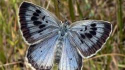 Coupable d'avoir tué deux papillons rares, ce Britannique risque la