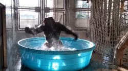 Il n'y a pas meilleur danseur que ce gorille dans son