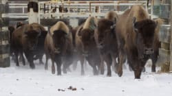 Au Canada, on reloge les bisons par hélicoptère. Tout