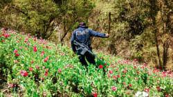 Legalización de la amapola ayudaría a poner fin a la violencia: Salvador