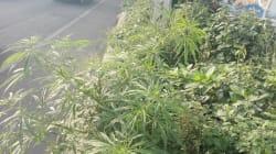 Para un 'buen viaje', siembran marihuana en jardinera de Periférico