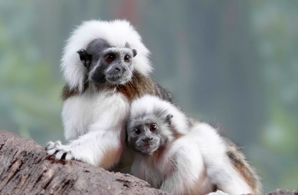 Zoo Babies: Nashville Zoo welcomes adorable cotton-top tamarins - AOL Lifestyle