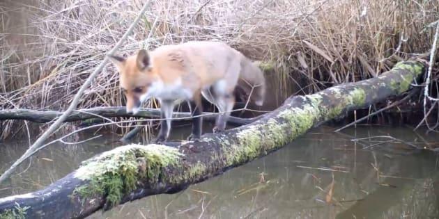 Cette vidéo, tournée en France en Champagne-Ardenne, prouve que les animaux n'ont pas disparu dans les lieux naturels.